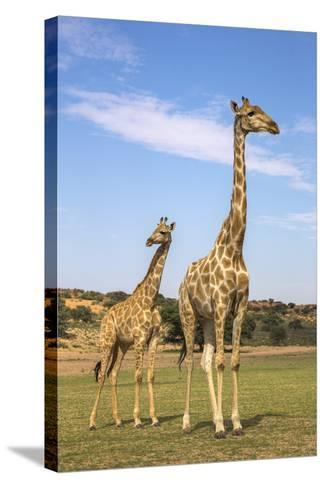Giraffe (Giraffa Camelopardalis) with Young, Kgalagadi Transfrontier Park, Northern Cape, Africa-Ann & Steve Toon-Stretched Canvas Print
