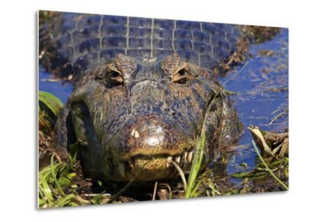 A Pantanal (Yacare) Caiman (Caiman Yacare), Mato Grosso Do Sul, Brazil, South America-Alex Robinson-Metal Print