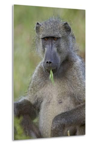 Chacma Baboon (Papio Ursinus) Eating, Kruger National Park, South Africa, Africa-James Hager-Metal Print