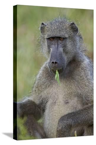 Chacma Baboon (Papio Ursinus) Eating, Kruger National Park, South Africa, Africa-James Hager-Stretched Canvas Print