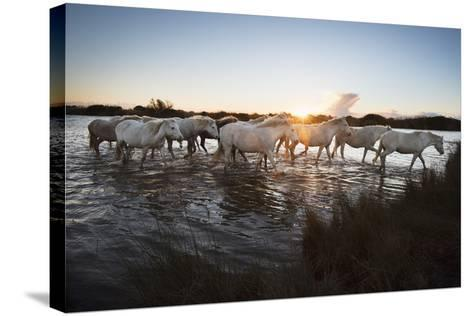 Wild White Horses at Sunset, Camargue, France, Europe-Janette Hill-Stretched Canvas Print