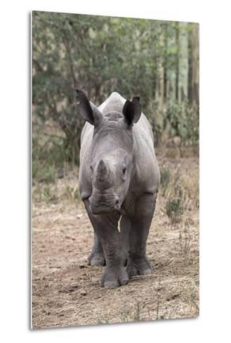 Ithuba, Thula Thula Rhino Orphanage, Kwazulu-Natal-Ann & Steve Toon-Metal Print