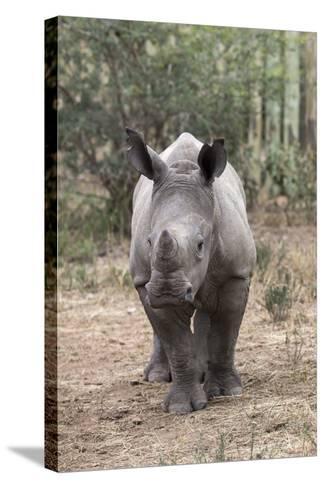 Ithuba, Thula Thula Rhino Orphanage, Kwazulu-Natal-Ann & Steve Toon-Stretched Canvas Print