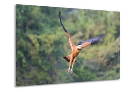 Black-Collared Hawk (Busarellus Nigricollis) in Flight, Pantanal, Mato Grosso, Brazil-G&M Therin-Weise-Metal Print