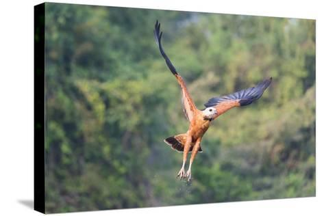 Black-Collared Hawk (Busarellus Nigricollis) in Flight, Pantanal, Mato Grosso, Brazil-G&M Therin-Weise-Stretched Canvas Print
