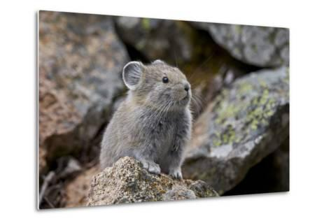 American Pika (Ochotona Princeps), Yellowstone National Park, Wyoming, United States of America-James Hager-Metal Print