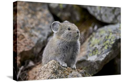 American Pika (Ochotona Princeps), Yellowstone National Park, Wyoming, United States of America-James Hager-Stretched Canvas Print