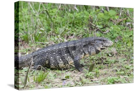 Black and White Tegu (Tupinambis Merianae), Pantanal, Brazil, South America-G&M Therin-Weise-Stretched Canvas Print