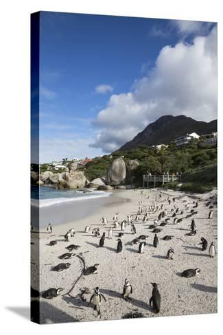 African Penguins (Spheniscus Demersus) on Foxy Beach, Simon's Town, Cape Town-Ann & Steve Toon-Stretched Canvas Print