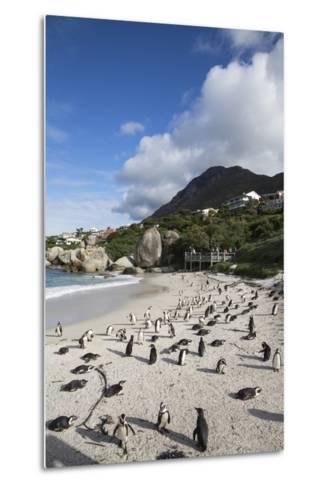 African Penguins (Spheniscus Demersus) on Foxy Beach, Simon's Town, Cape Town-Ann & Steve Toon-Metal Print