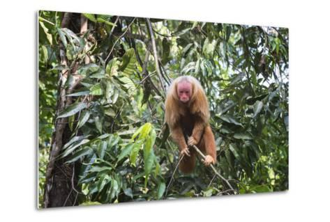 Red Bald-Headed Uakari Monkey also known as British Monkey (Cacajao Calvus Rubicundus), Brazil-G&M Therin-Weise-Metal Print
