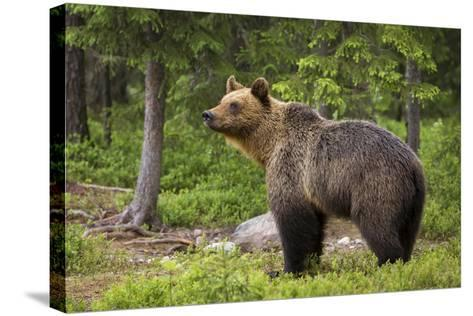 Brown Bear (Ursus Arctos), Finland, Scandinavia, Europe-Andrew Sproule-Stretched Canvas Print