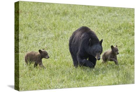 Black Bear (Ursus Americanus) Sow and Two Chocolate Cubs of the Year or Spring Cubs, Wyoming-James Hager-Stretched Canvas Print