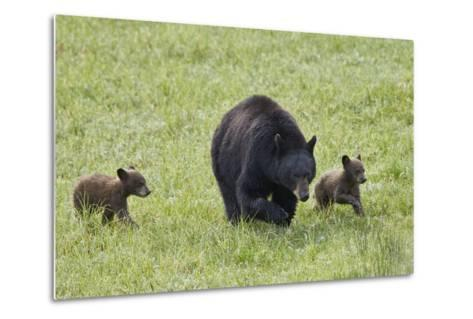Black Bear (Ursus Americanus) Sow and Two Chocolate Cubs of the Year or Spring Cubs, Wyoming-James Hager-Metal Print