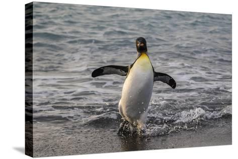 King Penguin (Aptenodytes Patagonicus) Returning from the Sea at Gold Harbour, Polar Regions-Michael Nolan-Stretched Canvas Print