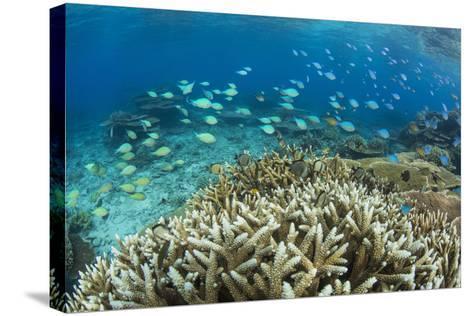Reef Fishes Amongst Profusion of Hard Plate at Pulau Setaih Island, Natuna Archipelago, Indonesia-Michael Nolan-Stretched Canvas Print