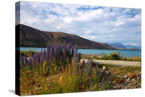 Lupins, Lake Tekapo, South Canterbury, South Island, New Zealand, Pacific-Suzan Moore-Stretched Canvas Print