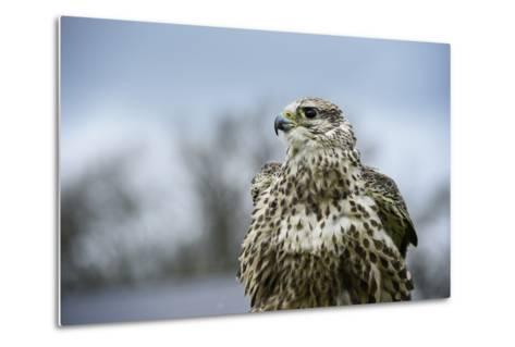 Red Tailed Hawk, an American Raptor, Bird of Prey, United Kingdom, Europe-Janette Hill-Metal Print