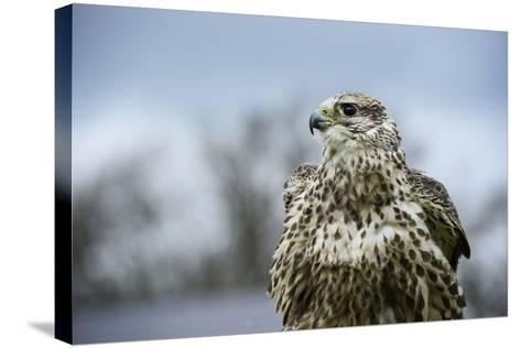 Red Tailed Hawk, an American Raptor, Bird of Prey, United Kingdom, Europe-Janette Hill-Stretched Canvas Print
