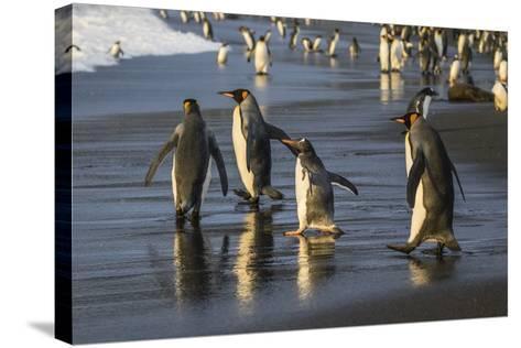 Gentoo Penguin (Pygoscelis Papua), South Georgia, Polar Regions-Michael Nolan-Stretched Canvas Print