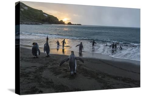 King Penguins (Aptenodytes Patagonicus) Returning to the Sea, Gold Harbour, Polar Regions-Michael Nolan-Stretched Canvas Print
