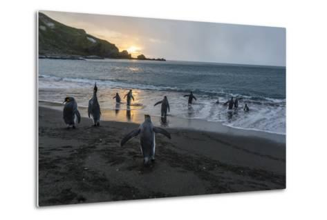 King Penguins (Aptenodytes Patagonicus) Returning to the Sea, Gold Harbour, Polar Regions-Michael Nolan-Metal Print