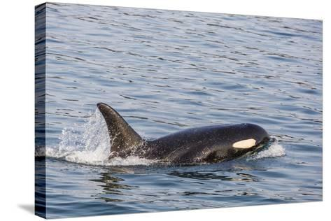 An Adult Killer Whale (Orcinus Orca) Surfacing in Glacier Bay National Park, Southeast Alaska-Michael Nolan-Stretched Canvas Print