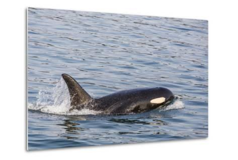 An Adult Killer Whale (Orcinus Orca) Surfacing in Glacier Bay National Park, Southeast Alaska-Michael Nolan-Metal Print