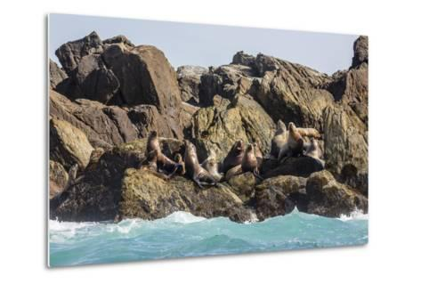 Steller Sea Lion (Eumetopias Jubatus), Haida Gwaii (Queen Charlotte Islands), British Columbria-Michael Nolan-Metal Print