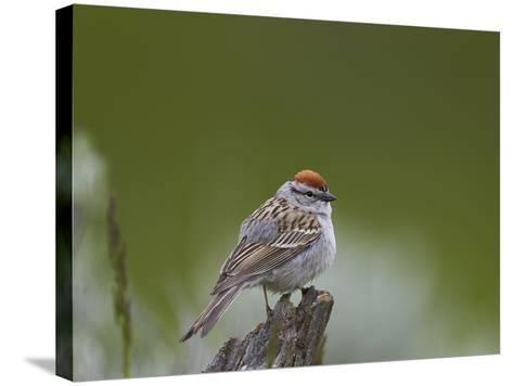 American Tree Sparrow (Spizella Arborea), Yellowstone National Park, Wyoming, U.S.A.-James Hager-Stretched Canvas Print