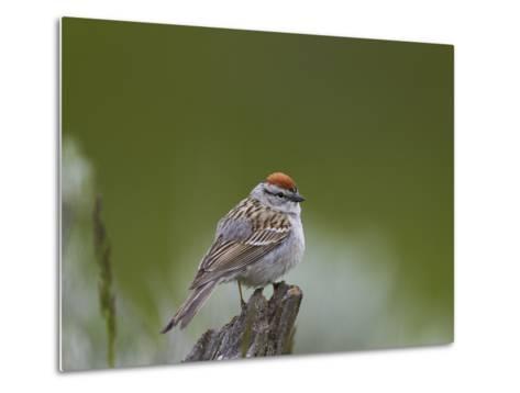 American Tree Sparrow (Spizella Arborea), Yellowstone National Park, Wyoming, U.S.A.-James Hager-Metal Print