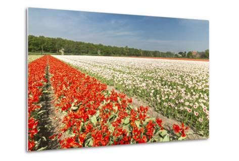 The Red and White Tulips Colour the Landscape in Spring, Netherlands-Roberto Moiola-Metal Print