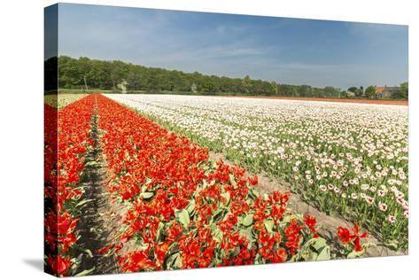 The Red and White Tulips Colour the Landscape in Spring, Netherlands-Roberto Moiola-Stretched Canvas Print