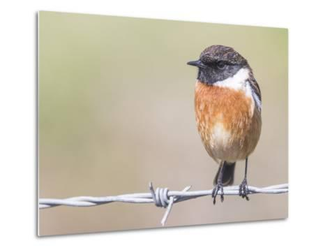 Stonechat (Saxicola Rubicola), Middlesborough, England, United Kingdom, Europe-David Gibbon-Metal Print