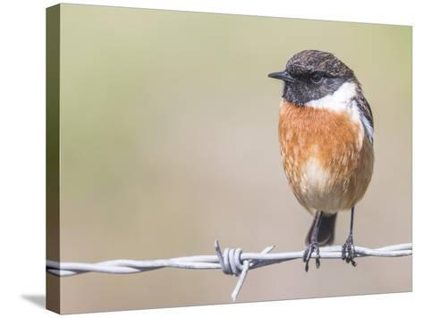 Stonechat (Saxicola Rubicola), Middlesborough, England, United Kingdom, Europe-David Gibbon-Stretched Canvas Print