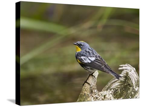 Audubon's Yellow-Rumped Warbler (Dendroica Coronata Auduboni), Yellowstone National Park, Wyoming-James Hager-Stretched Canvas Print