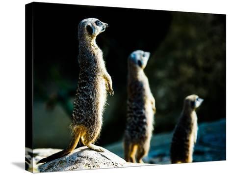 Meerkats (Suricata Suricatta) in Captivity, United Kingdom, Europe-John Alexander-Stretched Canvas Print
