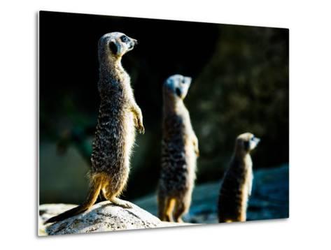 Meerkats (Suricata Suricatta) in Captivity, United Kingdom, Europe-John Alexander-Metal Print