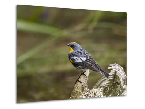 Audubon's Yellow-Rumped Warbler (Dendroica Coronata Auduboni), Yellowstone National Park, Wyoming-James Hager-Metal Print