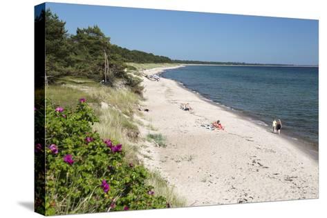 View Along Pine Tree Lined Beach, Nybrostrand, Near Ystad, Skane, South Sweden, Sweden, Scandinavia-Stuart Black-Stretched Canvas Print