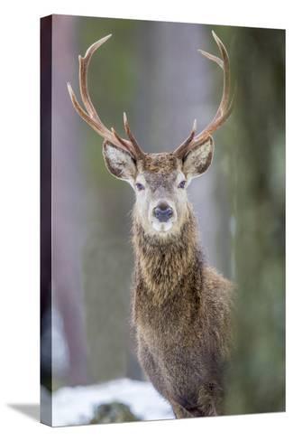 Red Deer Stag (Cervus Elaphus), Scottish Highlands, Scotland, United Kingdom, Europe-David Gibbon-Stretched Canvas Print