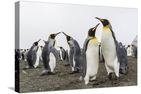 King Penguins (Aptenodytes Patagonicus) on the Beach at Gold Harbour, South Georgia, Polar Regions-Michael Nolan-Stretched Canvas Print