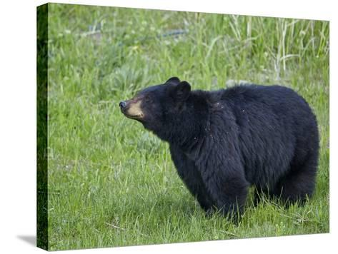 Black Bear (Ursus Americanus), Yellowstone National Park, Wyoming, United States of America-James Hager-Stretched Canvas Print