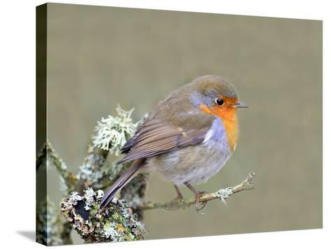 Robin (Erithacus Rubecula), Lake District, Cumbria, England, United Kingdom, Europe-David and Louis Gibbon-Stretched Canvas Print