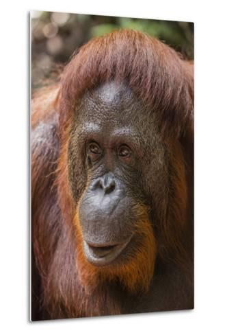 Reintroduced Female Orangutan (Pongo Pygmaeus), Indonesia-Michael Nolan-Metal Print