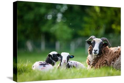 Spring Lambs, Dorset, England, United Kingdom, Europe-John Alexander-Stretched Canvas Print