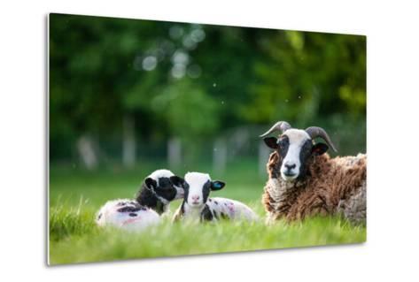 Spring Lambs, Dorset, England, United Kingdom, Europe-John Alexander-Metal Print