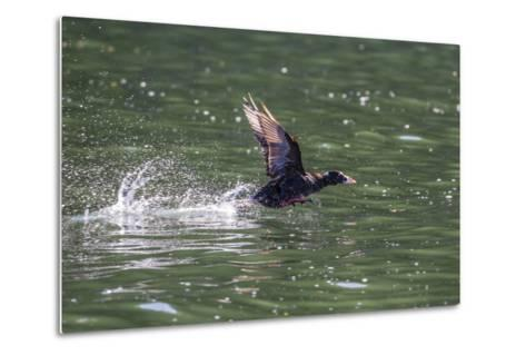 Adult Male Surf Scoter (Melanitta Perspicillata) Taking Flight in Williams Cove, Southeast Alaska-Michael Nolan-Metal Print