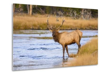 Elk (Cervus Canadensis) Crossing the Madison River, Yellowstone National Park, Wyoming, U.S.A.-Gary Cook-Metal Print