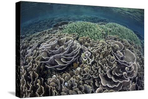 Foliose Corals Grow in Komodo National Park, Indonesia-Stocktrek Images-Stretched Canvas Print